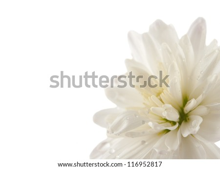 white chrysanthemum with drops isolated on white background