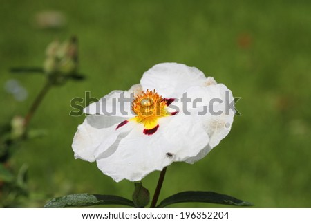 white cistus - stock photo