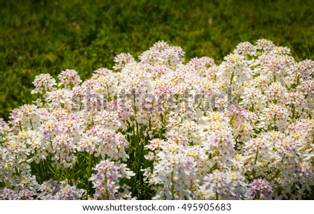 white cloud of flowers in the garden