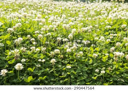 White clover - stock photo