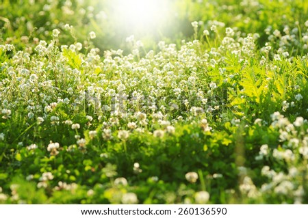 white clover flowers in spring, shallow depth of field - stock photo