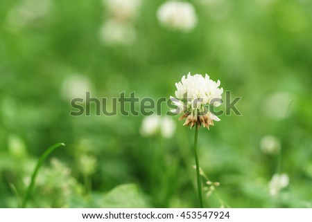 white clover on the meadow in summer day - stock photo