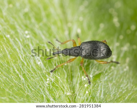 white-clover seed weevil, Protapion fulvipes on leaf - stock photo