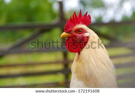 White cock - stock photo