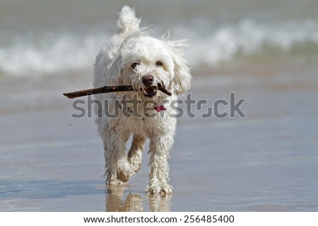 White Cockapoo Dog Carrying a Stick at the Beach - Lake Huron, Canada - stock photo