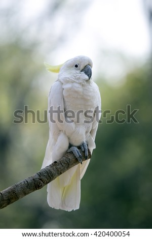 white Cockatoo in natural habitat, Sulphur-crested cockatoo - Cacatua galerita standin. - stock photo
