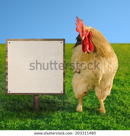 White cockerel looking at white billboard - square composition - soft focus - stock photo