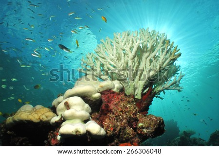 White color of hard corals is coral bleaching. The main cause of coral bleaching is heat stress resulting from high sea temperatures.                     - stock photo