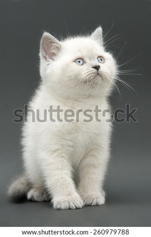 white color point british kitten looking right top - stock photo