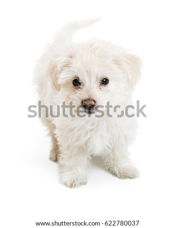 White color young maltese mixed breed puppy dog on white background
