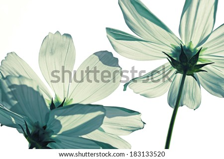 White Colored Cosmos Flowers - stock photo