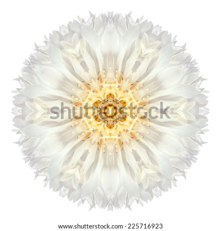 White Cornflower Mandala Flower. Kaleidoscope of Centaurea cyanus Isolated on White Background. Beautiful Natural Mirrored pattern