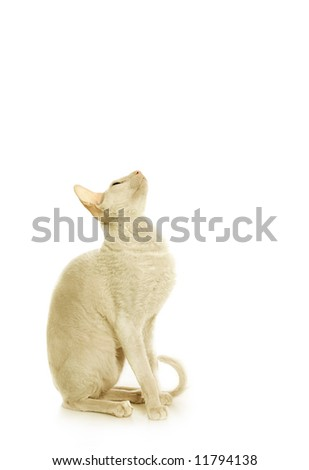 White  cornish-rex - stock photo