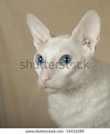 White  cornish-rex cat - stock photo
