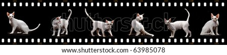 White Cornish Rex cat In six positions sitting standing moving with film strip background - stock photo