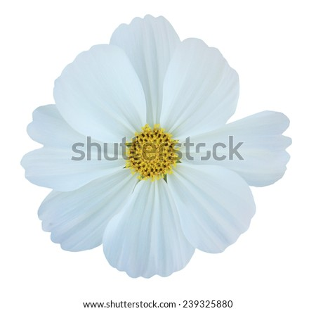White cosmos flower isolated on white - stock photo