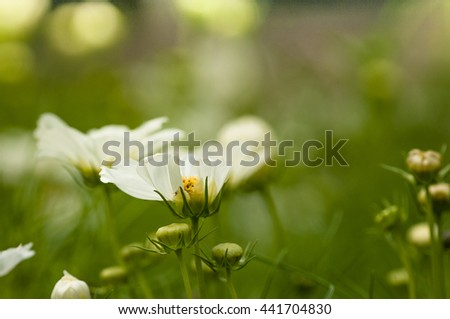White Cosmos flowers are blooming beautifully as nature 's perfect . - stock photo