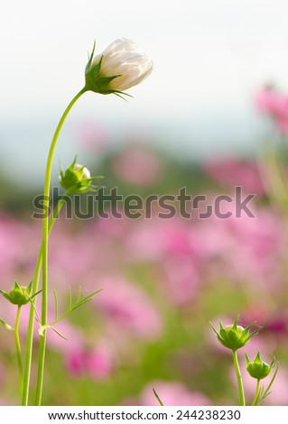 White cosmos flowers blooming, spring background.