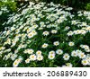 white cosmos flowers in nature - stock photo