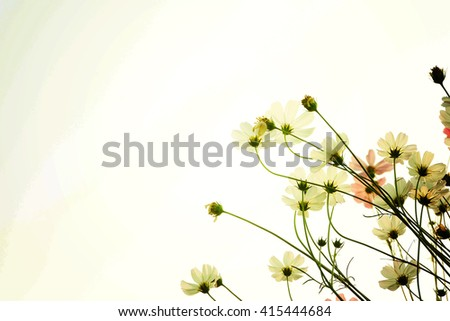White Cosmos flowers isolated on white.