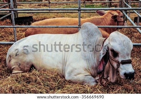 White cow in a stable. - stock photo