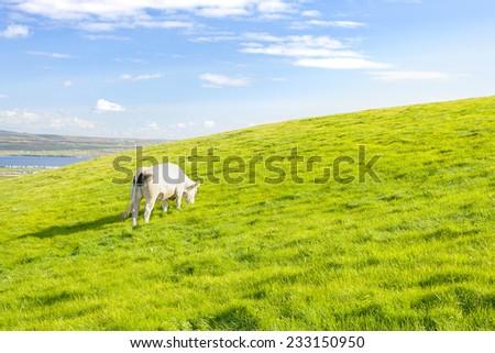 White cow pasture on grassland in Ireland - stock photo
