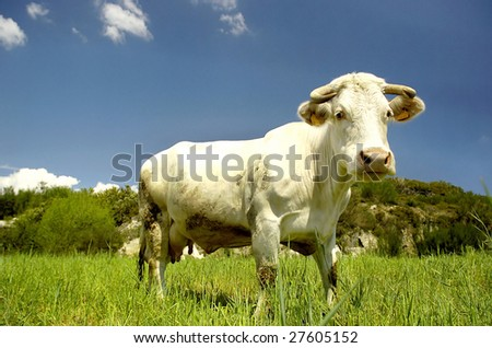 White cow posing in a green field - stock photo