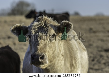 White cow with green ear tags with other cows in background