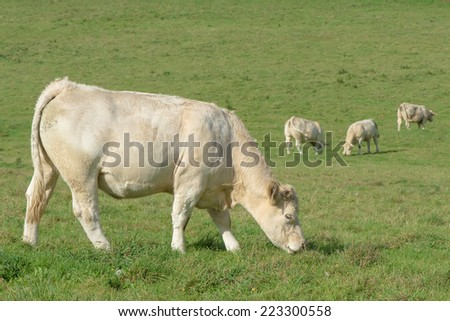 white cows eating green grass in a field - stock photo