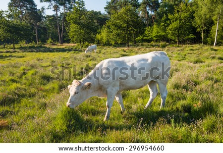 White cows grazing in a nature area with moorland and woods in low sunlight early in the morning. - stock photo