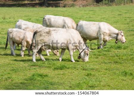 White cows in Dutch pasture - stock photo
