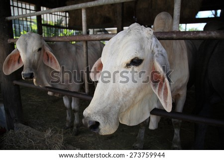 White cows in the pen of Thai dairy farm - stock photo