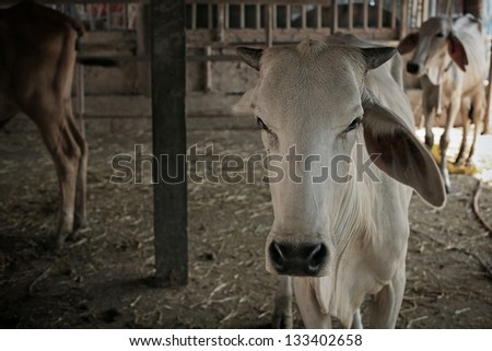 White cows inside wooden cowshed - stock photo