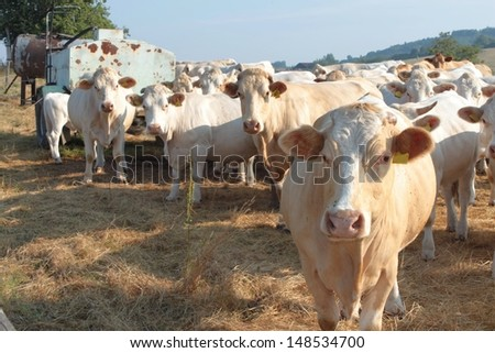 white cows on a farmland in Czech Republic