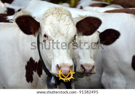 White cows with a ring in the nostrils and numerous flies around the eyes, region Rhône-Alpes in France
