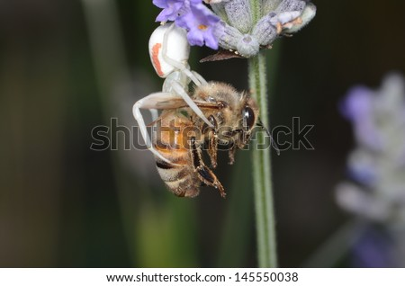 White Crab Spider Eating Honey Bee Suspended by Web from Lilac Flower