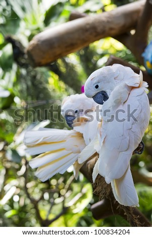 White-crested Cockatoo