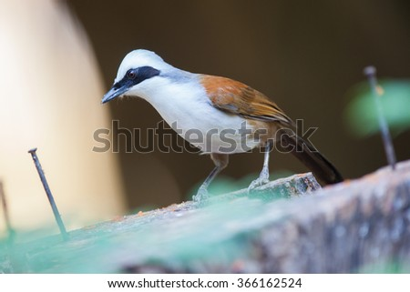 White-crested Laughing Thrush, on the nature.
