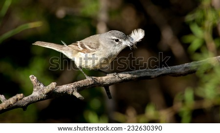 White-crested Tyrannulet (Serpophaga subcristata) perched with nesting material in its beak. Patagonia, Argentina, South America. - stock photo