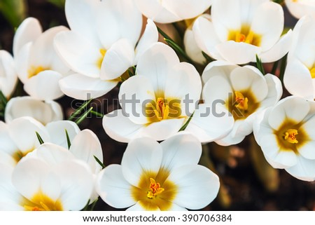 white crocus spring flower blooming. shallow depth of field. Soft focus - stock photo
