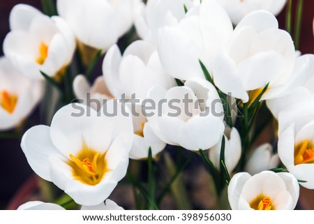 white crocus spring flower blooming. shallow depth of field. Soft focus.focus on lower flower pistils - stock photo