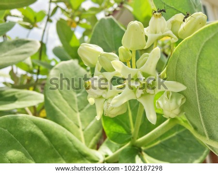 Waxy white flower stock images royalty free images vectors white crown flowers gigantic swallow wort giant calotrope calotropis gigantea is mightylinksfo