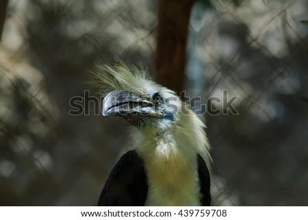White Crowned Hornbill (Berenicornis comatus), bird of Thailand, wildlife. - stock photo