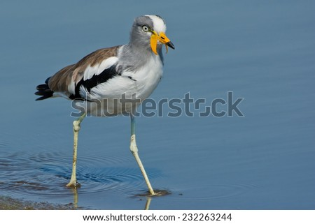 White-crowned Lapwing or White-crowned Plover (Vanellus albiceps) ~ Kruger National Park, South Africa - stock photo