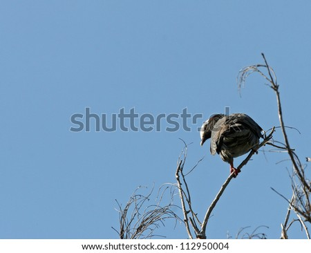 white-crowned pigeon - stock photo