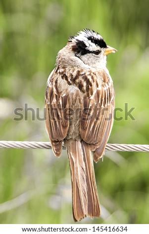 White Crowned Sparrow in Tucson Arizona - stock photo