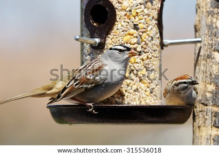 White-crowned sparrow, Zonotrichia leucophrys and chipping sparrow, Spizella passerina, sharing a bird feeder - stock photo