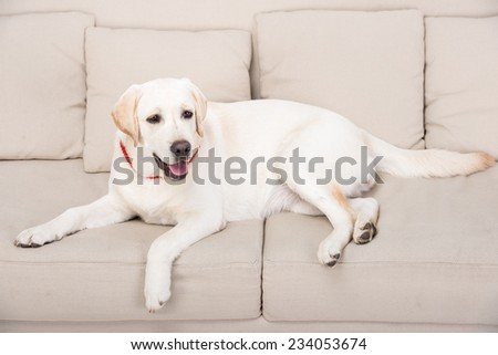 White cute labrador is lying on the couch. - stock photo