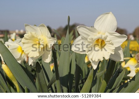 White daffodils - stock photo