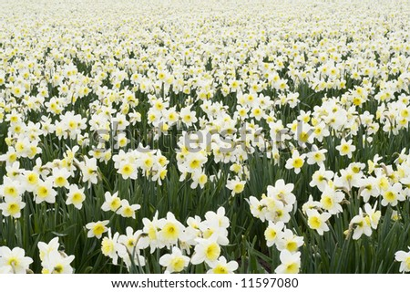 White daffodils in a field in Washington